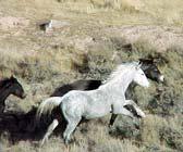 Mustangs en liberté ...